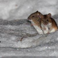 Мыши :: vovafritz