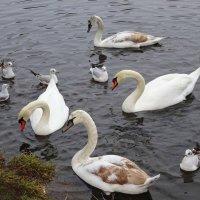 На парковом озере появилась новая лебединая семья :: Маргарита Батырева