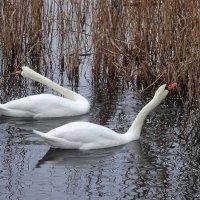 Лебеди за обедом :: Маргарита Батырева