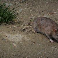крыса Лариска :: kuta75 оля оля