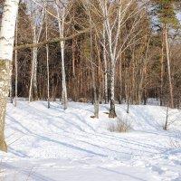 Березы зимой :: Лидия (naum.lidiya)