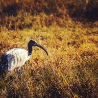 Шагая по утренней саванне...Танзания! :: Александр Вивчарик