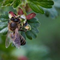 пчела :: Юлия Морозова