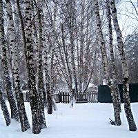 Березки зимой :: Елена Семигина