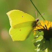 жёлтое на жёлтом :: оксана