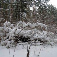 По заснеженному лесу. :: Мила Бовкун