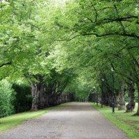 На западе парка - липовая, начинающиеся от главных ворот :: Елена Павлова (Смолова)