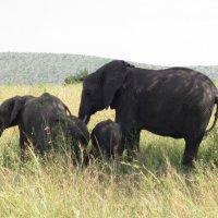 Слоны :: Сергей