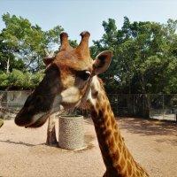 Покормить жирафа... :: Sergey Gordoff