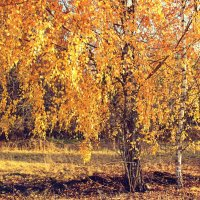 березовая осень :: оксана