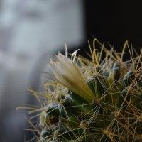 Цветок кактуса. :: Aлександр **