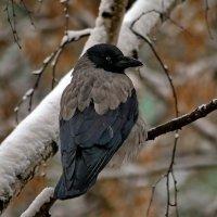 Ворона, из окна моего дома. :: Пётр Сесекин
