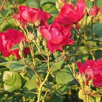 вальс цветов-розы алые :: Олег Лукьянов