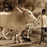 Гоанский юноша и белый зебу . :: Лариса Журавлева