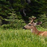 Молодой белохвостый олень :: Alena Nuke