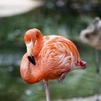 Коралловый фламинго :: Мария Самохина