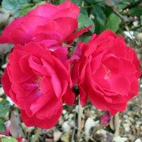 Розы у дороги. :: Валерьян