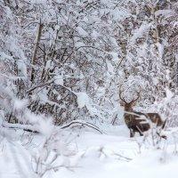 Олени зимой :: Александр Новиков