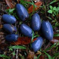 Кисленькие плоды давидсонии очень похожи по форме на сливы. :: Лара Гамильтон
