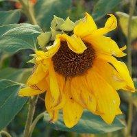 Солнечные цветы-5 :: Фотогруппа Весна.