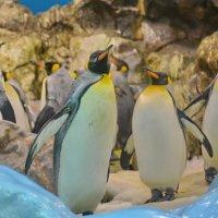 Королевский пингвин. :: Sergey (Apg)