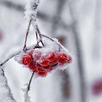 Зимние ягоды :: Вячеслав Ложкин