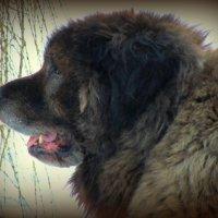 Охранная собака :: Сергей Карачин