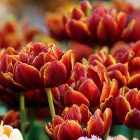 Страна тюльпанов :: Александр Сивкин