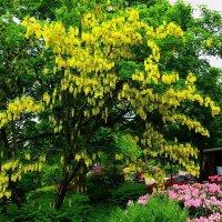 Парк цветов в Гамбурге (серия). Жёлтая акация и рододендроны :: Nina Yudicheva