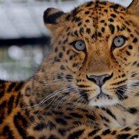 Леопард :: Светлана Винокурова