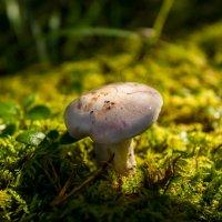 молодой гриб :: Константин Шабалин