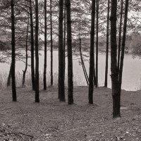 Сосны на берегу. :: Андрий Майковский