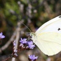 Бабочка-красавица :: Мария Самохина