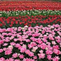 парк цветов Кёкенхоф -тюльпаны :: igor