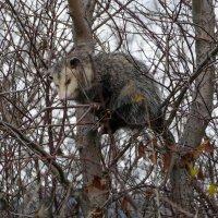 Не бойтесь! Я не крыса, а виргинский опоссум - родственник кенгуру! Почитайте обо мне! :: Юрий Поляков