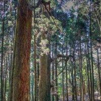 Японский лес богов :: Slava Hamamoto