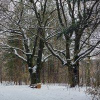 Зимний этюд с дубами. :: Сергей Фомичев
