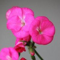 Зимнее цветение герани (пеларгонии). :: Marina K