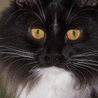 Два жёлтых глаза и чёрный нос из натуральной кожи :: Владимир Шамота