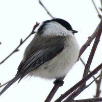 Буроголовая гаичка(пухляк) - птица года 2017 :: Марина