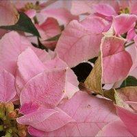Розовая рождественская звезда - пуансетия :: Нина Корешкова