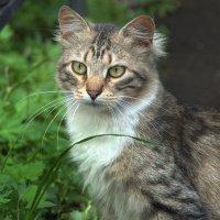 Дворовая кошка Мурка :: Наталья