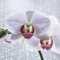 Орхидея на плачущем окне :: Ирина Приходько