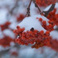 Рябина в снегу :: Павел Trump
