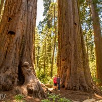 Big Trees of California. :: Leonid
