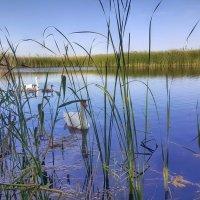 Лебединая семья на озере. :: Игорь Карпенко
