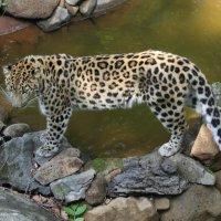 Дальневосточный леопард :: Андрей Щинов
