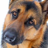 Мой пёса :: Михаил Кашанин