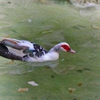 Мускусная утка, Национальный парк в Афинах :: Владимир Брагилевский