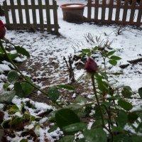 розы и снег :: Oxi --